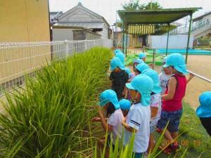 稲の生長1