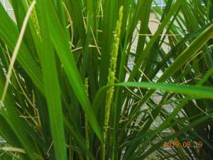稲の生長3