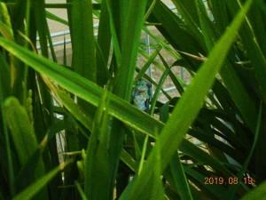 稲の生長2